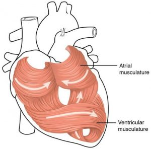 diagram of a heart's blood flow